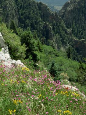 Wild Flowers on the Sandia Crest, Near Albuquerque, New Mexico, USA by Westwater Nedra