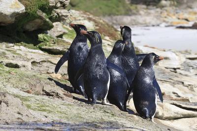 https://imgc.allpostersimages.com/img/posters/wet-rockhopper-penguins-eudyptes-chrysocome-on-rocks_u-L-PQ8U9T0.jpg?p=0