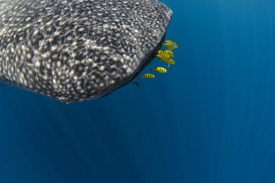 https://imgc.allpostersimages.com/img/posters/whale-shark-and-golden-trevally-cenderawasih-bay-west-papua-indonesia_u-L-Q12SZZ30.jpg?p=0