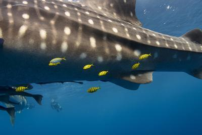 https://imgc.allpostersimages.com/img/posters/whale-shark-and-golden-trevally-cenderawasih-bay-west-papua-indonesia_u-L-Q12T7GZ0.jpg?p=0