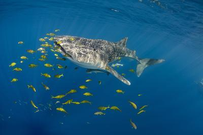 https://imgc.allpostersimages.com/img/posters/whale-shark-and-golden-trevally-cenderawasih-bay-west-papua-indonesia_u-L-Q12T7KA0.jpg?p=0