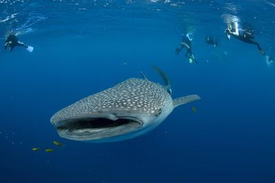 https://imgc.allpostersimages.com/img/posters/whale-shark-and-people-cenderawasih-bay-west-papua-indonesia_u-L-Q12SZX90.jpg?p=0