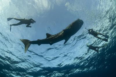 https://imgc.allpostersimages.com/img/posters/whale-shark-and-tourist-cenderawasih-bay-west-papua-indonesia_u-L-Q12T00O0.jpg?artPerspective=n