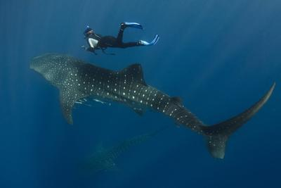 https://imgc.allpostersimages.com/img/posters/whale-shark-and-tourist-cenderawasih-bay-west-papua-indonesia_u-L-Q12T7LB0.jpg?p=0