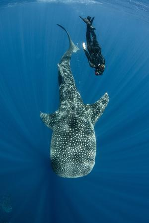 https://imgc.allpostersimages.com/img/posters/whale-shark-and-tourist-cenderawasih-bay-west-papua-indonesia_u-L-Q12T7ME0.jpg?p=0