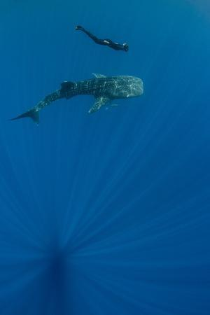 https://imgc.allpostersimages.com/img/posters/whale-shark-and-tourist-cenderawasih-bay-west-papua-indonesia_u-L-Q12T7NN0.jpg?p=0