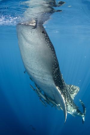https://imgc.allpostersimages.com/img/posters/whale-shark-cenderawasih-bay-west-papua-indonesia_u-L-Q12T0190.jpg?p=0