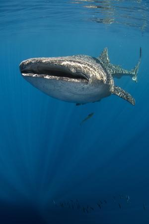 https://imgc.allpostersimages.com/img/posters/whale-shark-cenderawasih-bay-west-papua-indonesia_u-L-Q12T01J0.jpg?p=0
