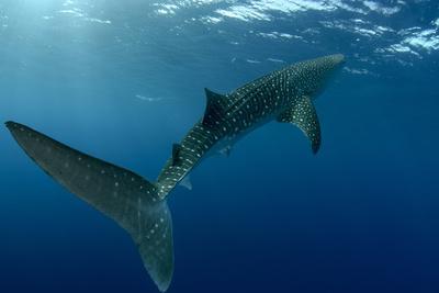 https://imgc.allpostersimages.com/img/posters/whale-shark-cenderawasih-bay-west-papua-indonesia_u-L-Q12T02L0.jpg?p=0