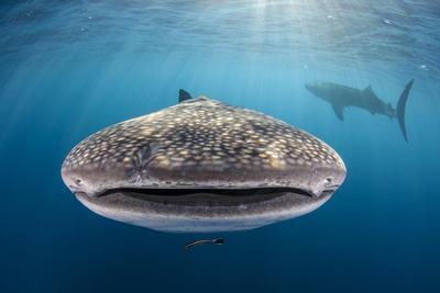 https://imgc.allpostersimages.com/img/posters/whale-shark-cenderawasih-bay-west-papua-indonesia_u-L-Q12T03C0.jpg?p=0