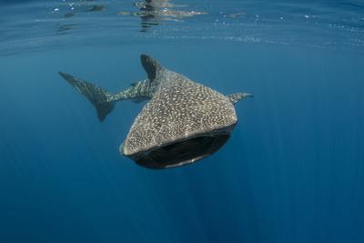 https://imgc.allpostersimages.com/img/posters/whale-shark-cenderawasih-bay-west-papua-indonesia_u-L-Q12T0400.jpg?p=0
