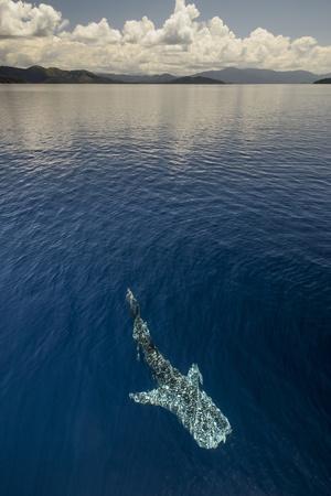 https://imgc.allpostersimages.com/img/posters/whale-shark-cenderawasih-bay-west-papua-indonesia_u-L-Q12T0580.jpg?p=0
