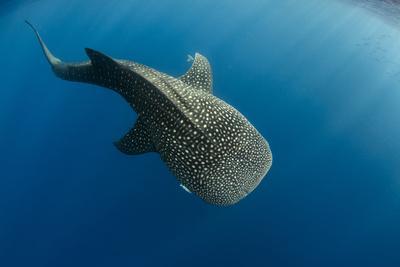 https://imgc.allpostersimages.com/img/posters/whale-shark-cenderawasih-bay-west-papua-indonesia_u-L-Q12T05N0.jpg?p=0