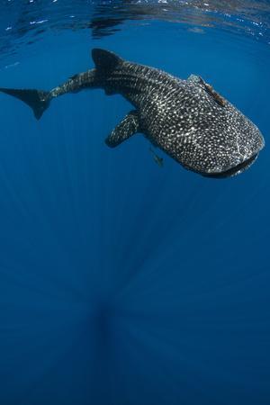 https://imgc.allpostersimages.com/img/posters/whale-shark-cenderawasih-bay-west-papua-indonesia_u-L-Q12T0970.jpg?p=0