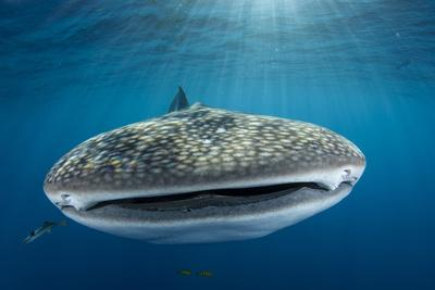 https://imgc.allpostersimages.com/img/posters/whale-shark-cenderawasih-bay-west-papua-indonesia_u-L-Q12T7QZ0.jpg?artPerspective=n
