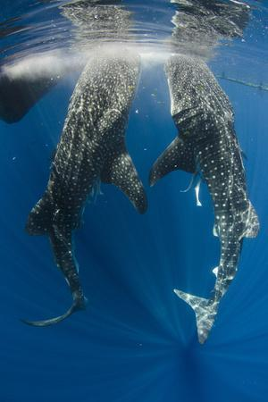https://imgc.allpostersimages.com/img/posters/whale-shark-feeding-at-bagan-cenderawasih-bay-west-papua-indonesia_u-L-Q12T7OS0.jpg?p=0