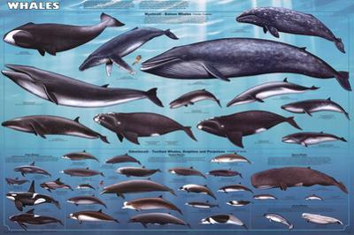 Whales Educational Poster