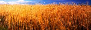 Wheat crop growing on field