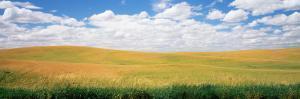 Wheat Crop in a Field, Palouse, Whitman County, Washington State, USA