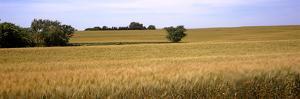 Wheat Field, Kansas, USA