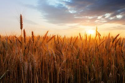 https://imgc.allpostersimages.com/img/posters/wheat-field-over-sunset_u-L-Q1036850.jpg?artPerspective=n