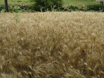 Wheat Growing and Blowing in a Field
