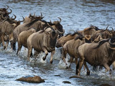 https://imgc.allpostersimages.com/img/posters/white-bearded-wildebeest-masai-mara-game-reserve-kenya_u-L-PHAJ6N0.jpg?p=0