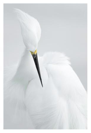 https://imgc.allpostersimages.com/img/posters/white-beauty_u-L-F8WJY90.jpg?p=0