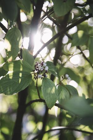 https://imgc.allpostersimages.com/img/posters/white-berries-of-the-white-dogwood_u-L-Q1EXR8N0.jpg?artPerspective=n