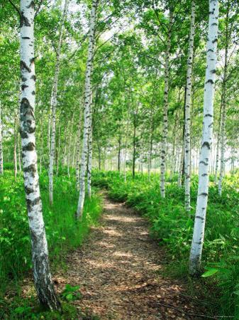 White Birch Lane