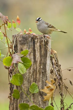 https://imgc.allpostersimages.com/img/posters/white-crowned-sparrow-zonotrichia-leucophrys-foraging-texas-usa_u-L-PN6W3A0.jpg?p=0