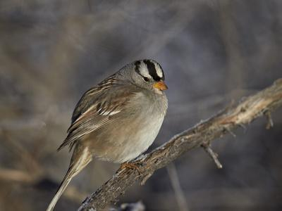 https://imgc.allpostersimages.com/img/posters/white-crowned-sparrow-zonotrichia-leucophrys_u-L-PWFBZM0.jpg?p=0