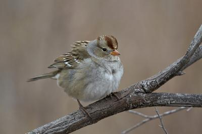 https://imgc.allpostersimages.com/img/posters/white-crowned-sparrow-zonotrichia-leucophrys_u-L-PWFFFJ0.jpg?artPerspective=n