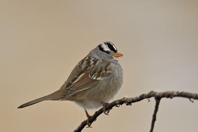 https://imgc.allpostersimages.com/img/posters/white-crowned-sparrow-zonotrichia-leucophrys_u-L-PWFKX70.jpg?p=0