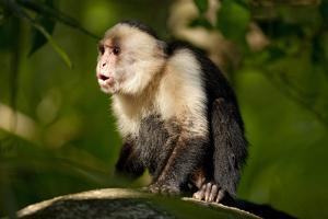 White-Faced Capuchin in a Tree in Manuel Antonio National Park