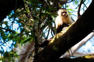 White Faced Monkey Costa Rica Photo Poster Print