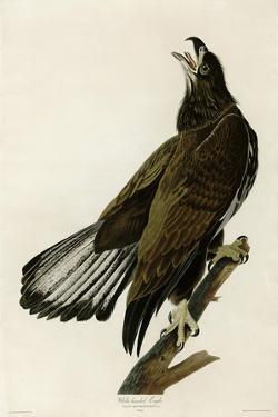 White Headed Eagle Deaux