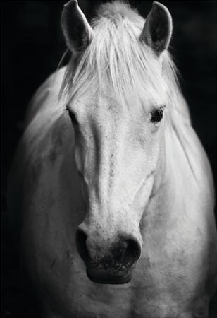 White Horse's Black And White Art Portrait