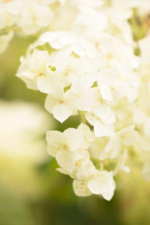https://imgc.allpostersimages.com/img/posters/white-hydrangea-on-a-bright-green-background_u-L-Q1EXPRS0.jpg?artPerspective=n