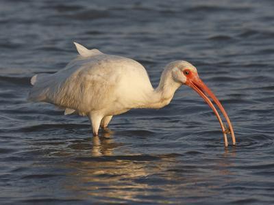 https://imgc.allpostersimages.com/img/posters/white-ibis-texas-usa_u-L-PHAD600.jpg?p=0
