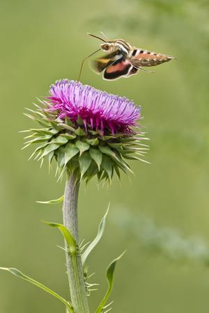 https://imgc.allpostersimages.com/img/posters/white-lined-sphinx-moth-hyles-lineata-feeding-on-thistle-texas-usa_u-L-PN6W3P0.jpg?p=0