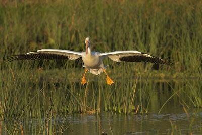 https://imgc.allpostersimages.com/img/posters/white-pelican-coming-in-for-a-landing-viera-wetlands-florida_u-L-PU3HEZ0.jpg?p=0