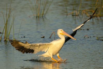 https://imgc.allpostersimages.com/img/posters/white-pelican-landing-viera-wetlands-florida_u-L-PU3HFE0.jpg?p=0