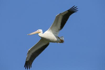 https://imgc.allpostersimages.com/img/posters/white-pelicans-in-flight-viera-wetlands-florida_u-L-PU3HFT0.jpg?p=0