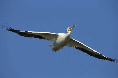 https://imgc.allpostersimages.com/img/posters/white-pelicans-in-flight-viera-wetlands-florida_u-L-PU3HG80.jpg?p=0