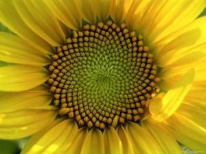 Close-up of a Sunflower at the Sunflower Blossom Center in Asheville by White & Petteway