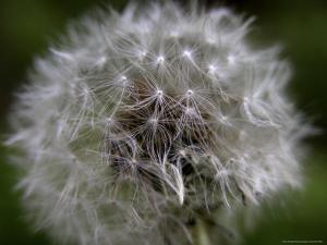 Dandelion, a Wildflower of the Blue Ridge and Smoky Mountains by White & Petteway