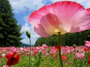 Pink Poppy Petals Shine Above a Field of Poppies in the Afternoon Sun by White & Petteway