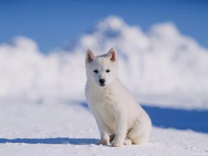 White Puppy in Snow