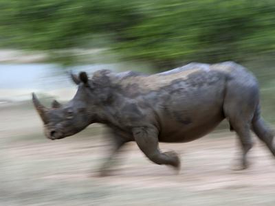 https://imgc.allpostersimages.com/img/posters/white-rhino-ceratotherium-simum-charging-hlane-royal-national-park-game-reserve-swaziland_u-L-PFNLVT0.jpg?p=0